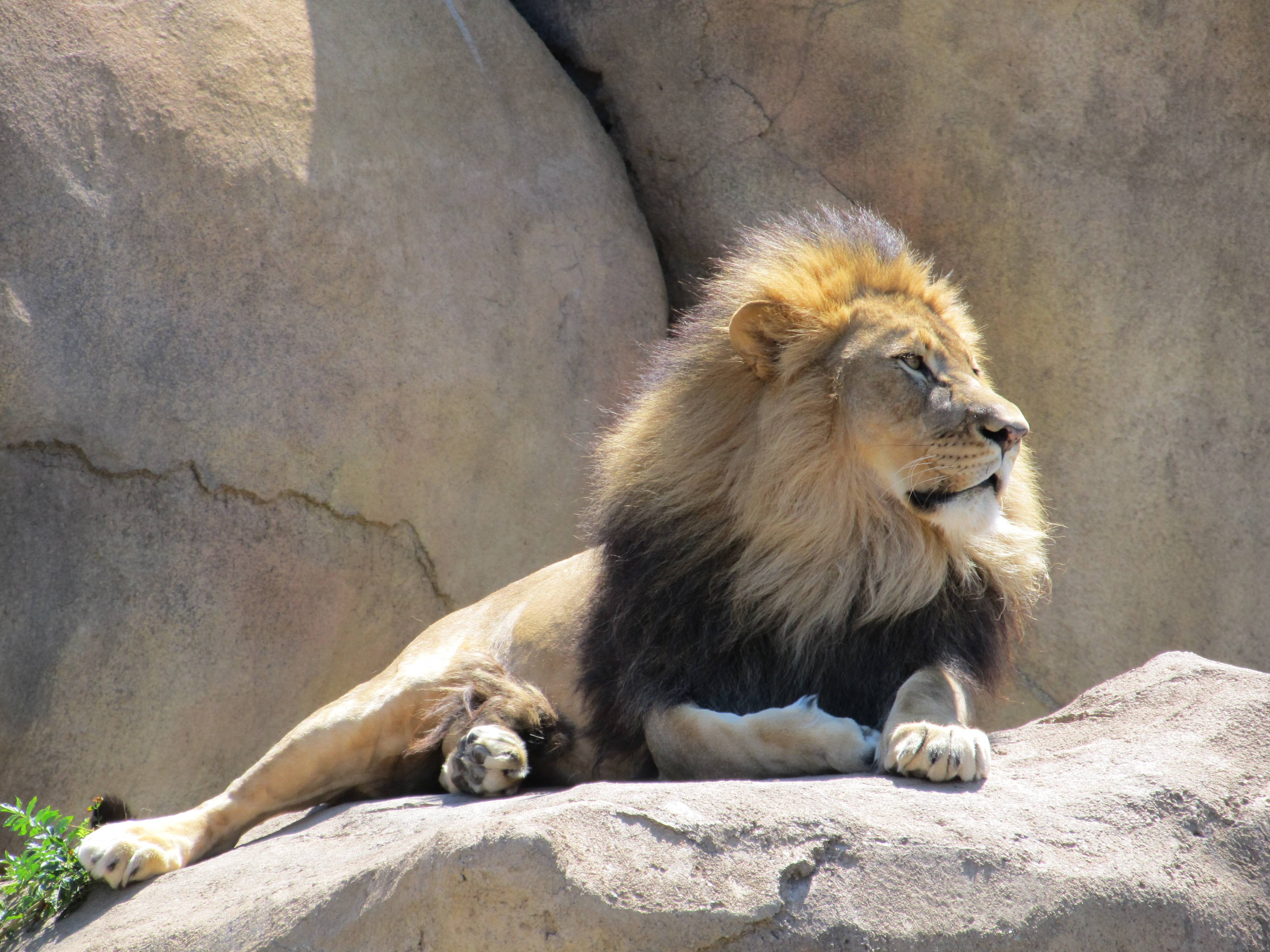 Peoria Zoo's male lion.