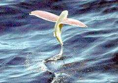 1024px-Pink-wing_flying_fish